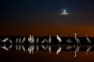 Group of Great egrets (Ardea alba), Grey heron (Ardea cinerea) and Eurasian spoonbill (Platalea leucorodia) at night with stars and moon. Lake Csaj, Kiskunsagi National Park, Pusztaszer, Hungary. May. - Bence  Mate