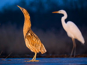 Bittern (Botaurus stellaris) with Great egret (Ardea alba) in the background, Lake Csaj, Kiskunsagi National Park, Pusztaszer, Hungary. - Bence  Mate