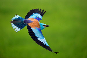 European roller (Coracias garrulus) in flight, Pusztaszer, Hungary, May.  -  Bence  Mate