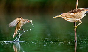 Little bittern (Ixobrychus minutus) watching Great warbler (Acrocephalus arundinaceus) with prey, Lake Csaj, Kiskunsagi National Park, Hungary.  -  Bence  Mate