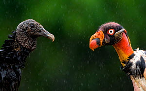 Black vulture (Coragyps atratus) face to face with King vulture (Sarcoramphus papa) Costa Rica.  -  Bence  Mate