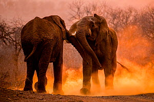 African elephants (Loxodonta africana) fighting with dust kicked up around them, Mkuze, South Africa. Second place in the Portfolio Category of the Terre Sauvage Nature Images Awards 2016 Competition.  -  Bence  Mate