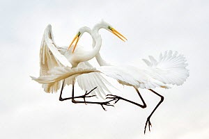 Great egrets (Ardea alba) fighting in mid-air, Lake Csaj, Kiskunsagi National Park, Pusztaszer, Hungary. January. - Bence  Mate