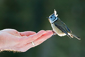 Crested tit (Lophophanes cristatus) perched on human hand,  Switzerland. December - Bence  Mate