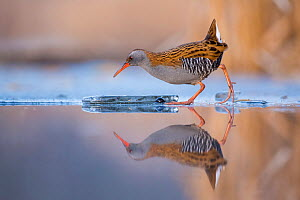 Water rail (Rallus aquaticus) reflected in water, Lake Csaj, Kiskunsagi National Park, Pusztaszer, Hungary. - Bence  Mate