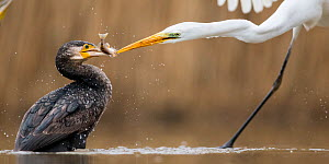 Great egret (Ardea alba) fighting with Cormorant (Phalacrocorax carbo) over fish, Lake Csaj, Kiskunsagi National Park, Pusztaszer, Hungary.  -  Bence  Mate