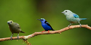 Red-legged honeycreeper (Cyanerpes cyaneus) perched with Palm tanager (Thraupis palmarum) and  Blue-gray tanager (Thraupis episcopus) Laguna del Lagarto, Santa Rita, Costa Rica  -  Bence  Mate