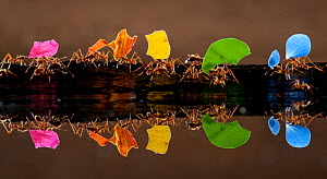 Leaf cutter ants (Atta sp) carrying colourful plant matter, reflected in water, Laguna del Lagarto, Santa Rita, Costa Rica - Bence  Mate