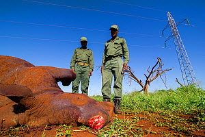 Rangers looking at dead  White Rhino (Ceratotherium simum) The Rhino was killed accidentally by its mother. The horn was cut by the rangers, to save it from poachers. Mkuze, South Africa  -  Bence  Mate
