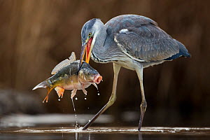 Grey Heron (Ardea cinerea) with large carp fish in beak, Lake Csaj, Kiskunsagi National Park, Pusztaszer, Hungary. February. - Bence  Mate