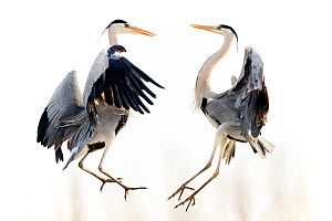 Grey heron (Ardea cinerea) two fighting in flight, Lake Csaj, Kiskunsagi National Park, Pusztaszer, Hungary.  -  Bence  Mate