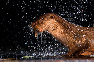 European otter (Lutra lutra) with fish prey, with water splashing around, Kiskunsagi National Park, Hungary, July. - Bence  Mate
