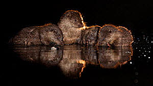 European otter (Lutra lutra) group in shallow water, Kiskunsagi National Park, Hungary, October. - Bence  Mate