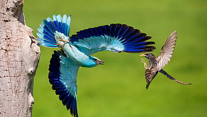 European Roller (Coracias garrulus) fighting with Starling (Sturnus vulgaris) in flight, Lake Csaj, Pusztaszer, Kiskunsagi National Park, Hungary, February.  -  Bence  Mate