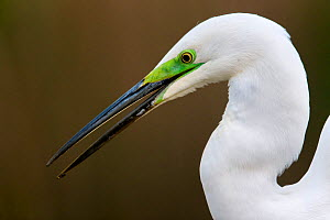 Great egret (Ardea alba) with green colouring near beak during breeding season, Lake Csaj, Pusztaszer, Hungary, April.  -  Bence  Mate