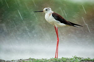 Black-winged stilt (Himanthopus himantophus) in rain,  Lake Csaj, Kiskunsagi National Park, Pusztaszer, Hungary, July. - Bence  Mate