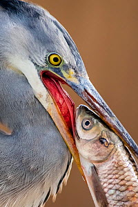 Grey heron (Ardea cinerea) close up with fish in beak, Lake Csaj, Kiskunsagi National Park, Pusztaszer, Hungary, February.  -  Bence  Mate