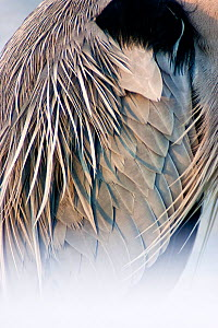 Grey heron (Ardea cinerea) close up of feathers, Lake Csaj, Kiskunsagi National Park, Pusztaszer, Hungary, February.  -  Bence  Mate
