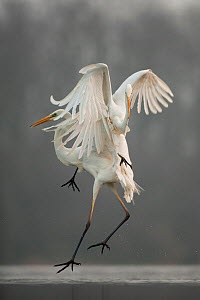 Great egrets (Ardea alba) fighting, Lake Csaj, Kiskunsagi National Park, Pusztaszer, Hungary, February.  -  Bence  Mate