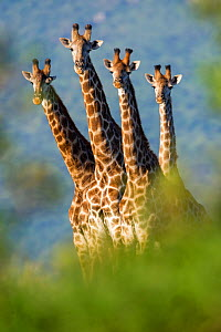 Group of four Giraffes (Giraffa camelopardalis) Mkuze, South Africa - Bence  Mate