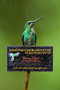 Green-crowned brilliant hummingbird (Heliodoxa jacula) on sign for Bence Mate's HidePhotography.com, which rents out hides for wildlife photography. Costa Rica.  -  Bence  Mate