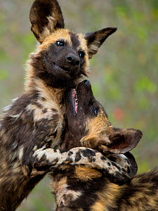 African wild dogs (Lycaon pictus) play fighting, Mkuze, South Africa - Bence  Mate