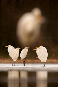 Great egret (Ardea alba) group of five at water's edge, with very out of focus egret in foreground. Lake Csaj, Kiskunsagi National Park, Pusztaszer, Hungary, February. - Bence  Mate