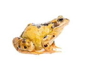 Common frog (Rana temporaria) female, The Netherlands, September, Meetyourneighbours.net project.  -  MYN / Paul van Hoof