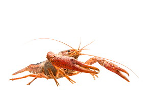 White river crayfish (Procambarus acutus) adult, The Netherlands,  May, Meetyourneighbours.net project  -  MYN / Paul van Hoof