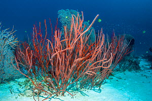 Red sea whip coral (Ellisella ceratophyta) Similan Islands, Andaman Sea, Thailand. - Georgette Douwma