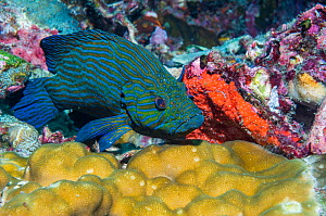 Bluelined hind (Cephalopholus formosa) perched on coral. Andaman Sea, Thailand.  -  Georgette Douwma