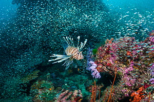 Lionfish (Pterois volitans) hunting Pygmy sweepers (Parapriacanthus ransonetti) Similian Islands, Andaman Sea, Thailand.  -  Georgette Douwma