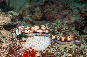 Nudibranch (Risbecia tryoni) pair moving along together, Mabul, Malaysia.  -  Georgette Douwma