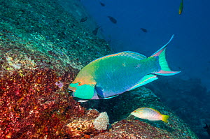 Greenthroat or Singapore parrotfish (Scarus prasiognathus), grazing on a granite boulder, with a small Remora (Echeneis naucrates) attached. Andaman Sea, Thailand.  -  Georgette Douwma
