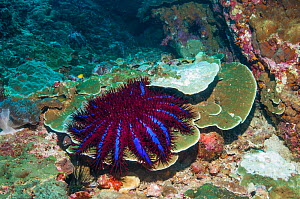 Crown-of-thorns starfish (Acanthaster planci) next to a patch of coral it has preyed on. Only in Thailand are the Crown-of-thorns starfish this unusual colour. Andaman Sea, Thailand.  -  Georgette Douwma