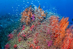 Gorgonian sea fan (Melithaea sp.) and Soft corals (Dendronephthya sp.) with a large school of Pygmy sweepers (Parapriacanthus ransonetti) Andaman Sea, Thailand. - Georgette Douwma