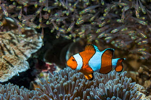 False clown anemonefish or Ocellaris anemonefish (Amphiprion ocellarus) with Pygmy sweepers in background. Mabul, Malaysia. - Georgette Douwma