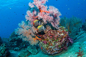 Pair of Redtail butterflyfish (Chaetodon collare) with a Gorgonian sea fan (Melithaea sp.) Andaman Sea, Thailand.  -  Georgette Douwma