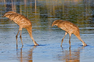 Sandhill Crane (Grus canadensis) two adults feeding with heads underwater, Myakka River State Park, Florida. April  -  George  Sanker