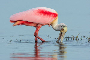 Roseate Spoonbill (Platalea ajaja) searching for food, Myakka River State Park, Florida, USA. March. - George  Sanker