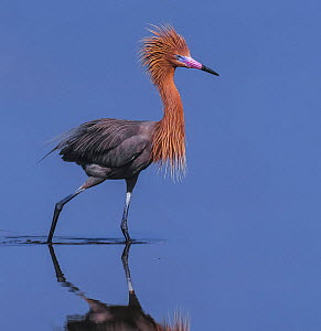 Reddish Egret (Egretta rufescens) wading portrait, Ding Darling National Wildlife Refuge, Florida, USA.  -  George  Sanker