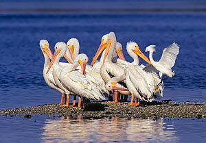 American White Pelican (Pelecanus erythrorhynchos) group preening whilst Snowy Egret (Egretta thula) takes off,  Ding Darling National Wildlife Refuge, Sanibel Island, Florida, USA. - George  Sanker