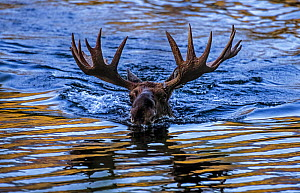 Moose (Alces alces) bull swimming in water, Baxter State Park, Maine, USA. - George  Sanker