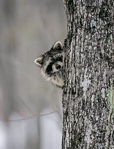 Raccoon (Procyon lotor) peering out from behind tree trunk, Baxter State Park, Maine, USA. - George  Sanker