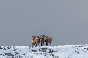 Bighorn Rams (Ovis canadensis) sparring in a high mountain pass in Jasper National Park, Alberta, Canada. - George  Sanker