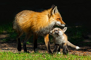 Red Fox (Vulpes vulpes) mother playing with pup, Shoshone National Forest, Wyoming, USA. - George  Sanker