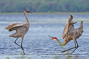 Sandhill crane (Grus canadensis) courtship display in water, Myakka River State Park, Florida, USA - George  Sanker