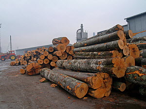 Pile of tree trunks in a wood processing plant in Reghin, Eastern Carpathians, Romania. Stacks of old-growth beech trees.  -  Zoltan Nagy