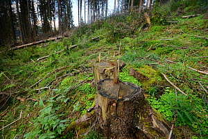 Cut stump of tree in forest that has been logged, Apuseni Mountains, Carpathians, Romania. August, 2014.  -  Zoltan Nagy