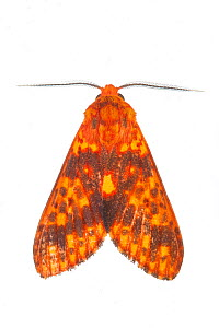 Moth (Symphlebia sp.) in the cloud forest of Mashpi, Ecuador.  Meetyourneighbours.net project  -  MYN / Javier Aznar